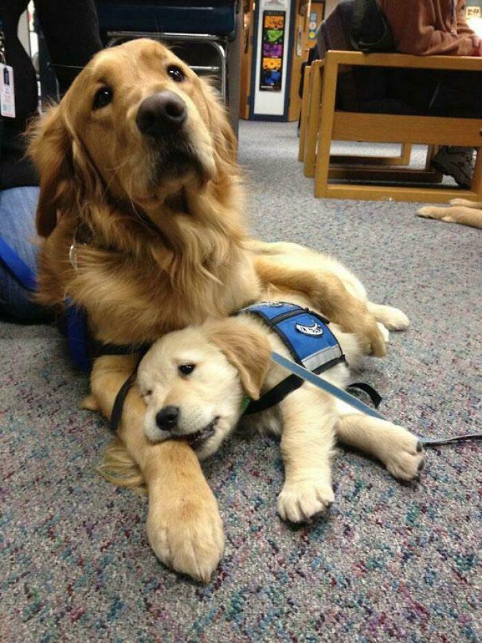 Esta mama canina reconfortaba a su bebé en su primer día en la escuela de policía canino