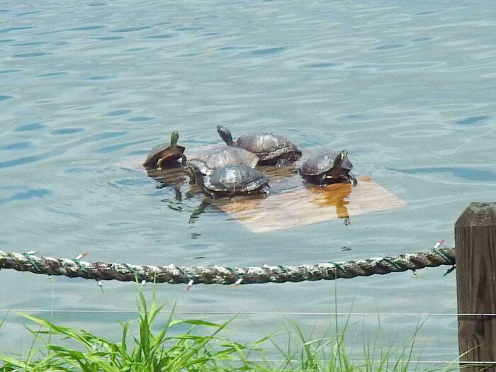 Mi abuelo construyó un muelle flotante para las tortugas en el lago junto a su casa, y a las tortugas les encanta