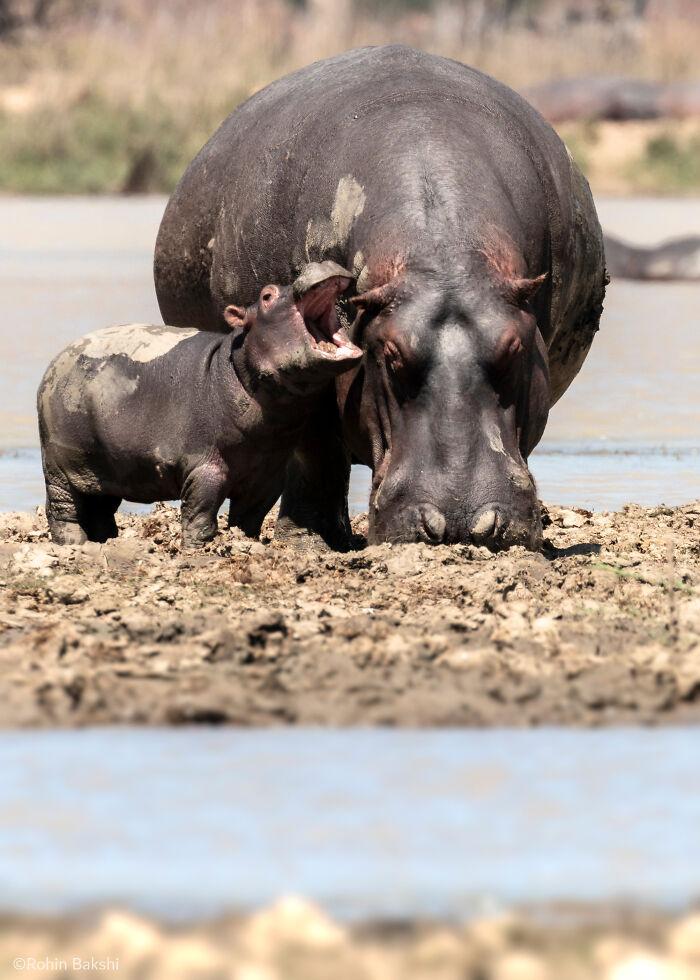 """""""Hipopótamo gruñón"""" por Rohin Bakshi"""