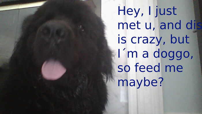 My Newfie As Another Meme.