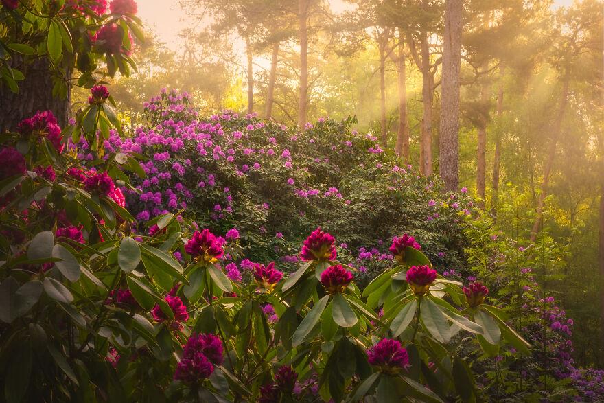 Rhododendron Dream