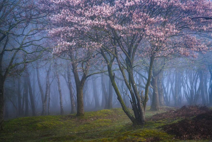 Foggy Blossoms
