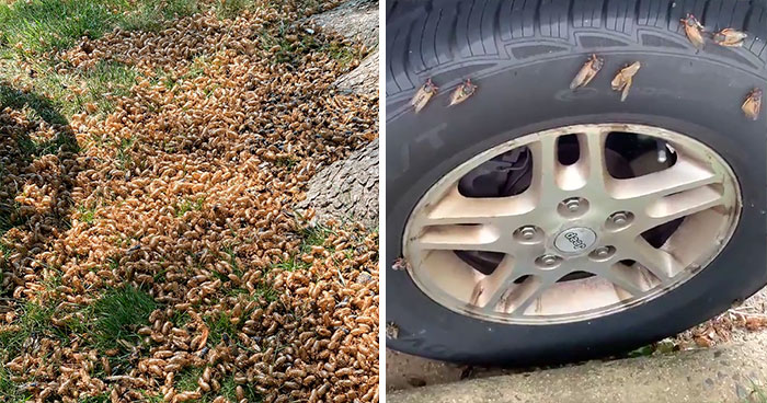 Billions Of Cicadas Emerge After 17 Years In The Ground And Create Chaos In Parts Of The US (30 Pics)