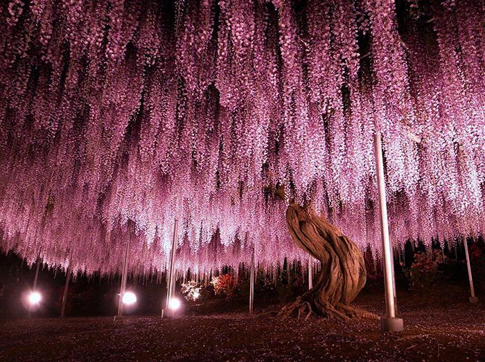Glicinia de 150 años en el parque floral de Ashikaga, Japón