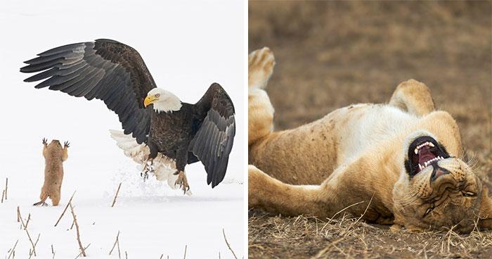 Los premios de fotografía Comedy Wildlife de 2021 nos vuelven a demostrar que los animales salvajes pueden ser increíblemente graciosos (11 fotos)