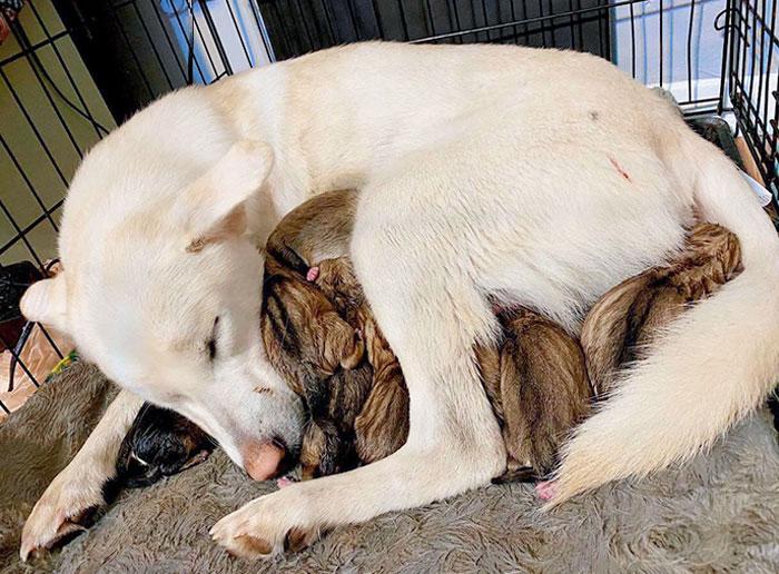 6 horas + 9 cachorritos = 1 madre cansada. Nuestra dulce madre primeriza, Ellie Mae y sus bebés