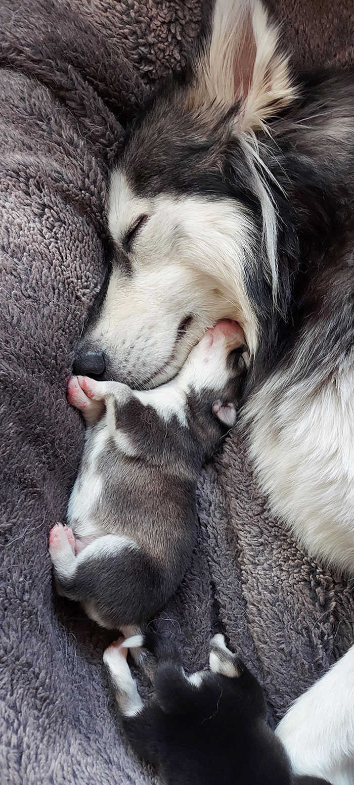Pude tomar esta adorable foto de mi husky y su cachorro acurrucados juntos (es madre primeriza y tuvo ocho encantadores cachorritos)
