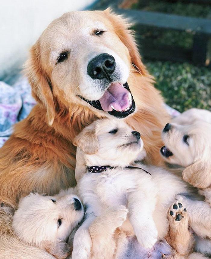 Una mamá golden muy orgullosa