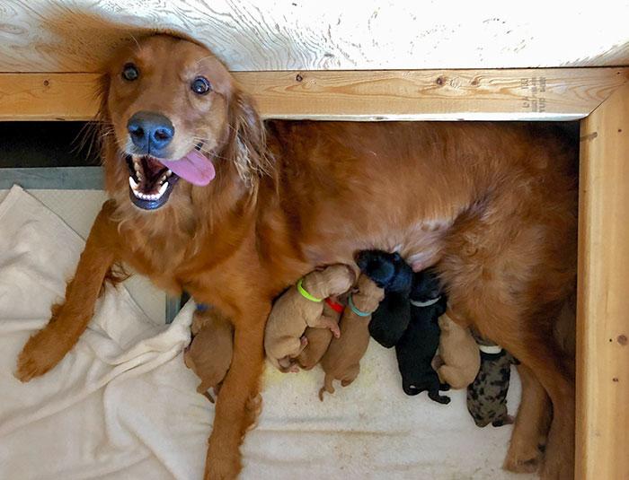 Mamá orgullosa. Nueve cachorros Golden Retriever/Rough Collie nacieron este martes
