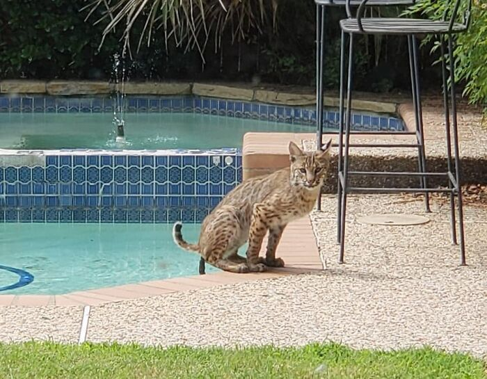 My Friend Found A Bobcat In Her Backyard Using Her Pool As A Toilet