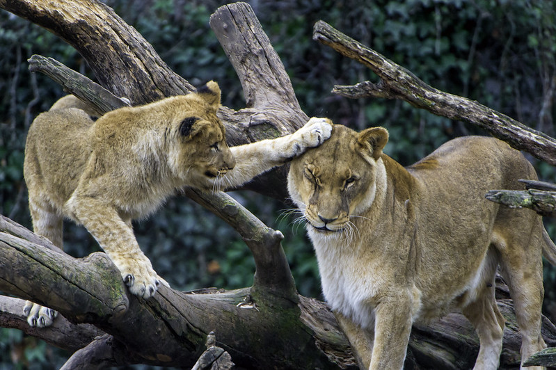 Gir Lions Depend On Humanity