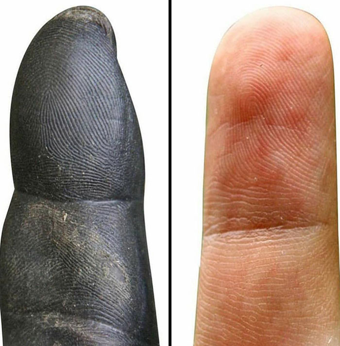 Chimpanzee Fingertip vs. Human Fingertip