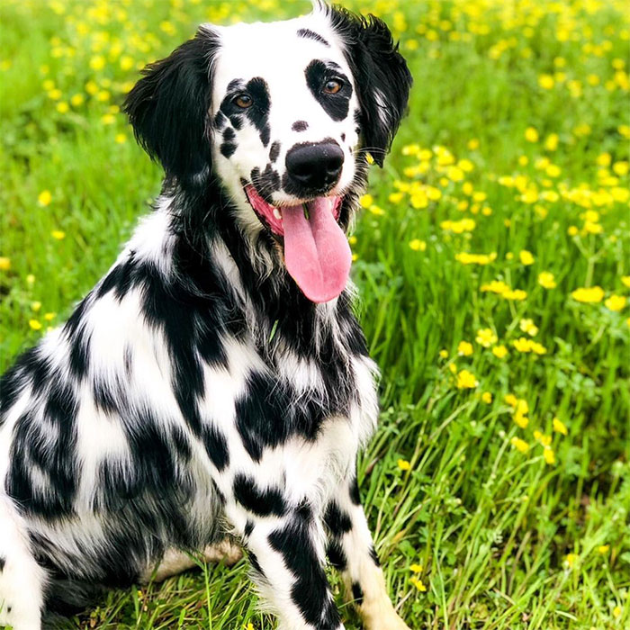Meet The Adorable Dog That Looks Like A Mix Between A Dalmatian And A Golden Retriever