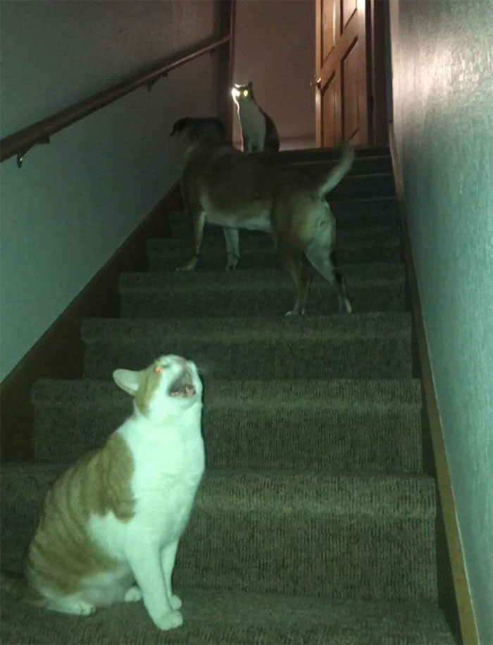 My Dog Is Afraid Of The Cats. They Have Learned That She Won't Walk Near Them, And Enjoy Trapping Her. Earlier Today She Tried To Walk Up The Stairs...