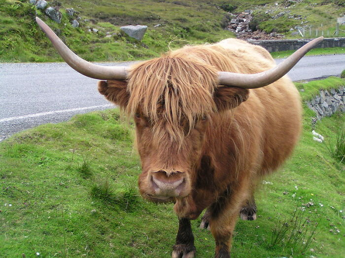 Drunk People In The UK Can't Be In Charge Of A Cow