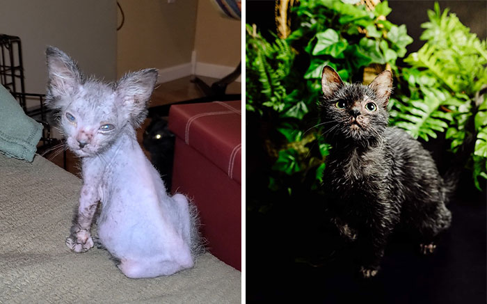 Owners Found Out Their Odd And Sick-Looking Kitten Is Actually A Wolfcat
