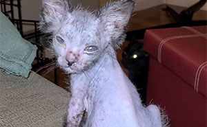 Owners Thought This Kitten Was Odd-Looking And Sick, Discovered Gracie Is Actually A Wolfcat