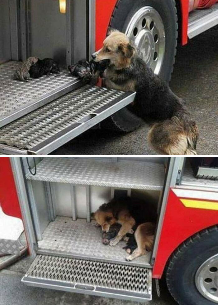 This Dog Saved All Her Puppies From A Fire And Put Them All In One Of The Fire Trucks On The Scene