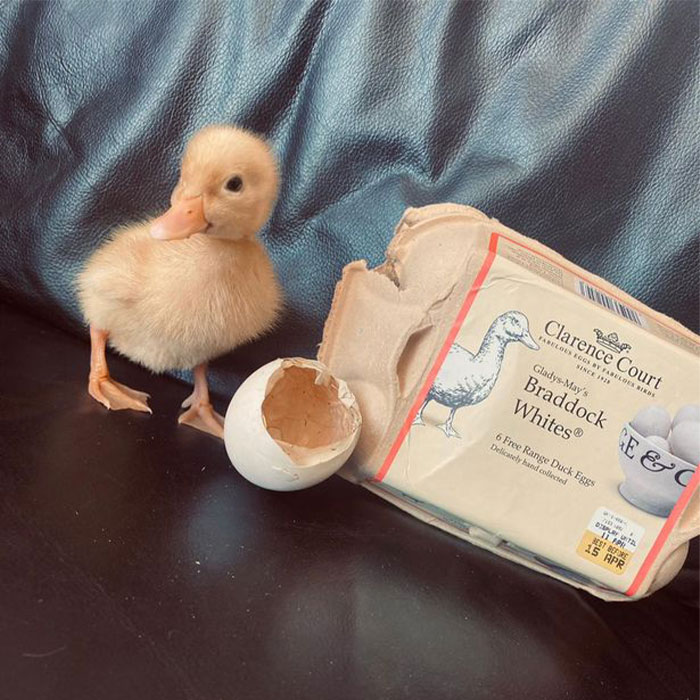 Woman Surprised After A TikTok Hack Worked And She Hatched A Duck From A Supermarket Egg