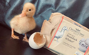 This Woman Managed To Hatch A Duck From Supermarket Eggs