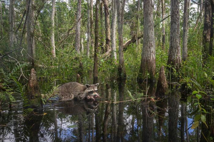 Terrestrial Wildlife, Finalist: 'Come High Water' By mac Stone, Audubon's Corkscrew Swamp Sanctuary, United States