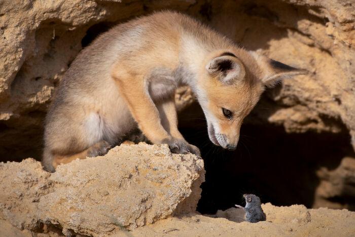 Terrestrial Wildlife, Finalist: 'Tough Negotiation' By Ayala Fishaimer, Judean Foothills, Israel