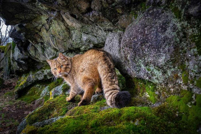 Terrestrial Wildlife, Finalist: 'Felis Silvestris' By Vladimir Cech Jr., Doupov Mountains, Czech Republic