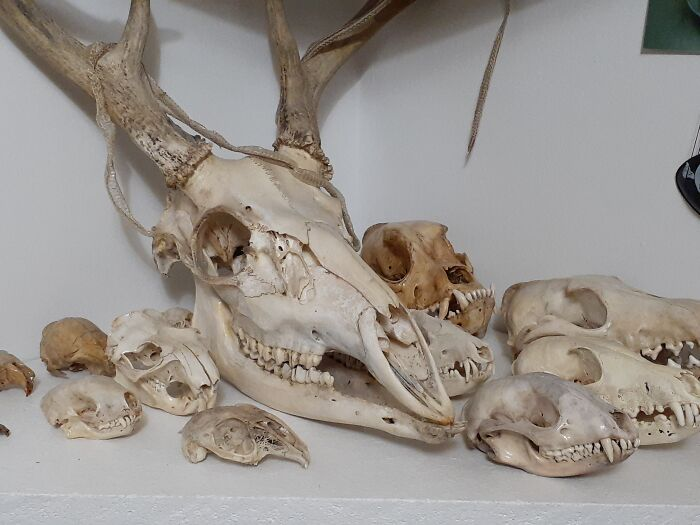 Skulls. At Least 50 Species, And Over 100 Total.