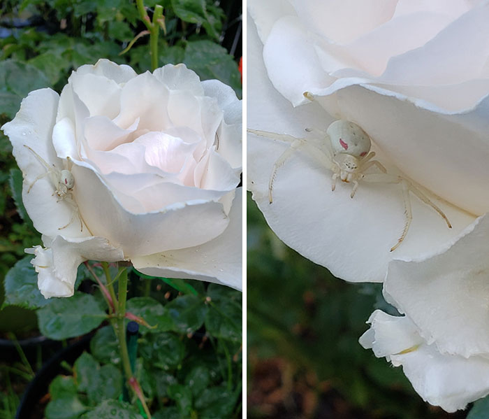 """Was Out In The Yard... Bent Down To Smell This Rose And Take A Picture. It Wasn't Until After I Got Up That I Noticed """"The Punisher"""" Just Waiting There...lol"""