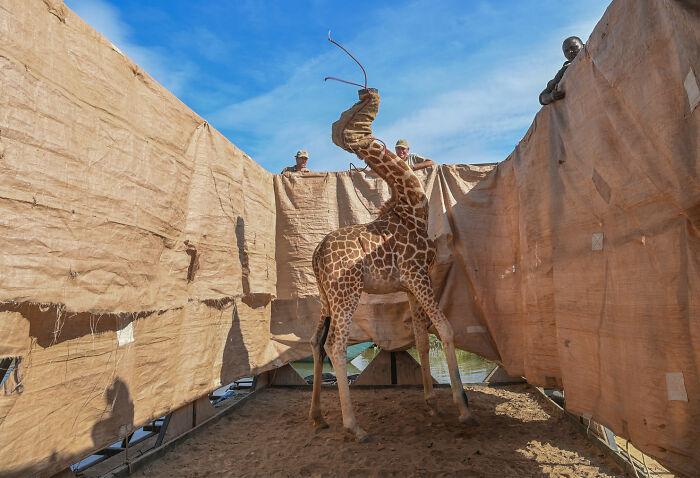 Human/Nature, Finalist: 'A Daring Rescue' By Ami Vitale, Ruko Community Conservancy, Kenya