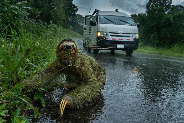 Human/Nature, Finalist: 'Why Did The Sloth Cross The Road?' By Andrew Whitworth, Osa Peninsula, Costa Rica