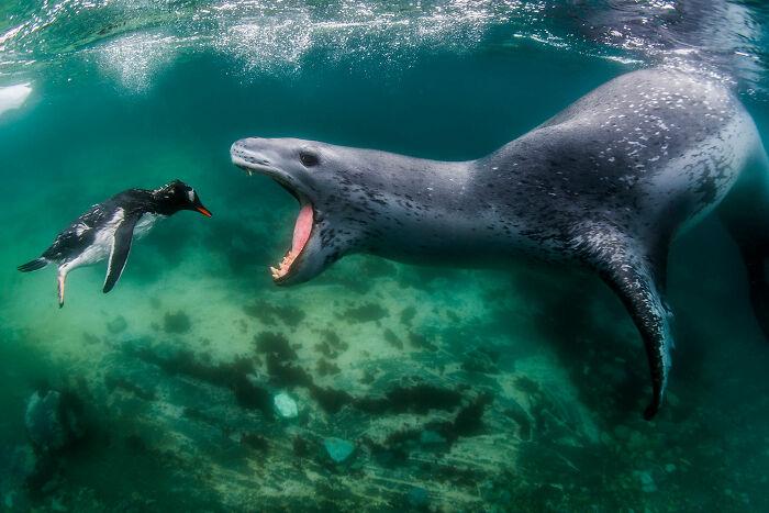 Aquatic Life, Finalist: 'Facing Reality' By Amos Nachoum, Pleneau Island, Antarctic Peninsula