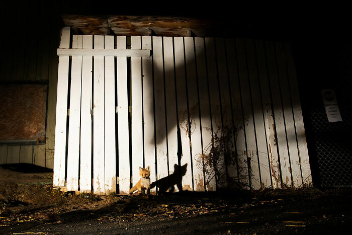 Human/Nature, Finalist: 'Foxfence' By Peter Mather, Whitehorse, Canada