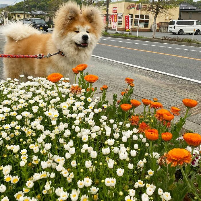 Bob-Akita-Heart-Shaped-Face-Dog