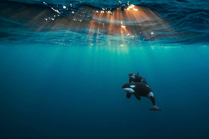 Aquatic Life, Finalist: 'Orcas Under The Arctic Sun' By andy Schmid, Skjervøy, Norway