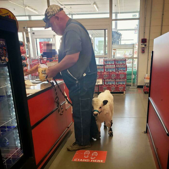 Calf In The Checkout Line