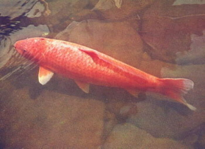Born In Japan, 1751 And Died In July 7, 1977 At A Grand Old Age Of 226, Koi Hanako Was The Oldest Koi Fish Ever Recorded