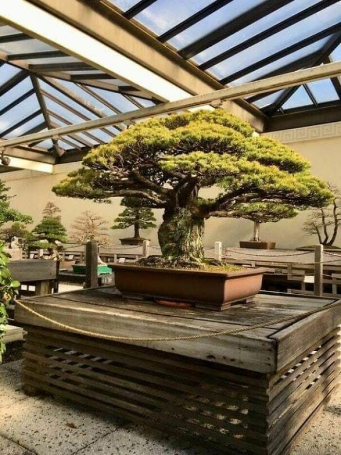 This 400 Year Old Bonsai Tree Survived The Bombing Of Hiroshima In Japan