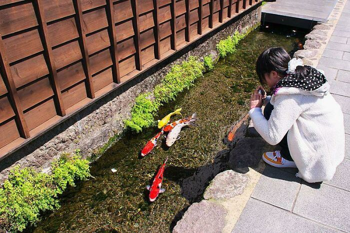 In The City Of Shimabara On Japan's Kyushu Island, The Drainage Canals Are So Clean They Are Home To Hundreds Of Koi Carp