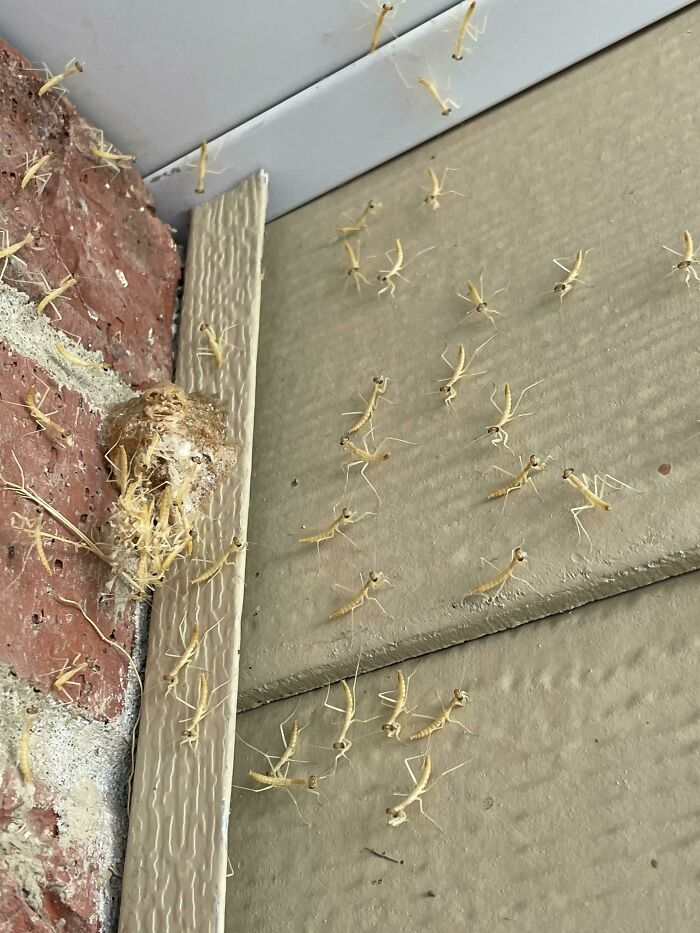 Had A Praying Mantis Nest Hatch By My Front Door!