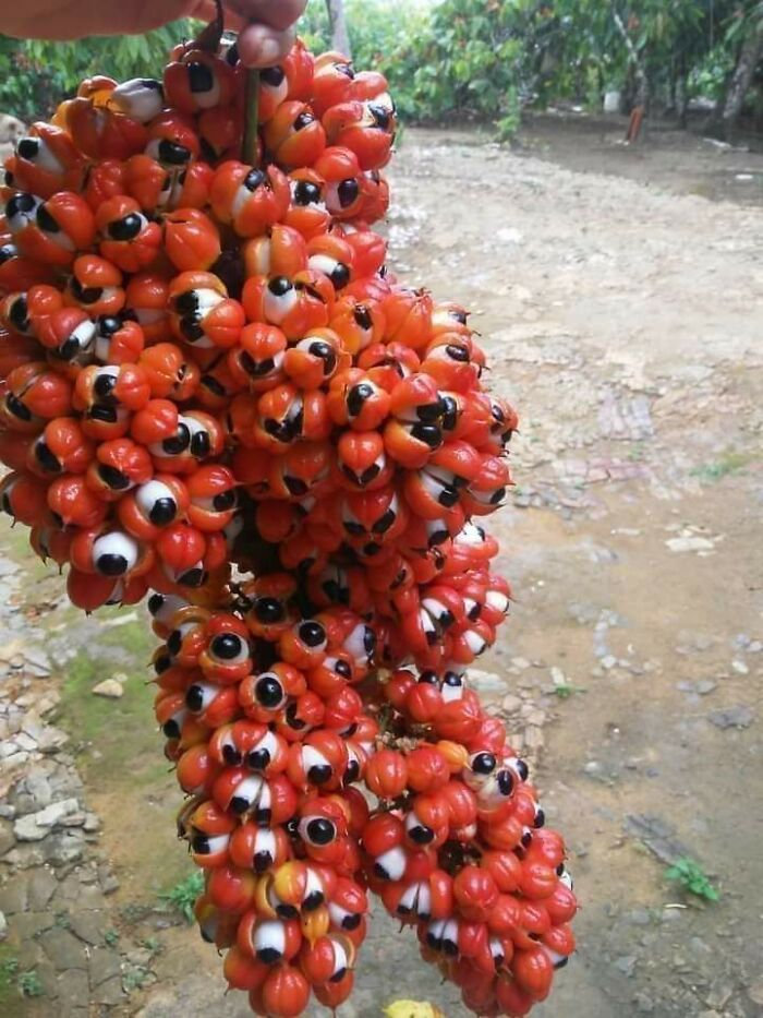 The Guarana Fruit Looks Like An Angel From The Old Testament
