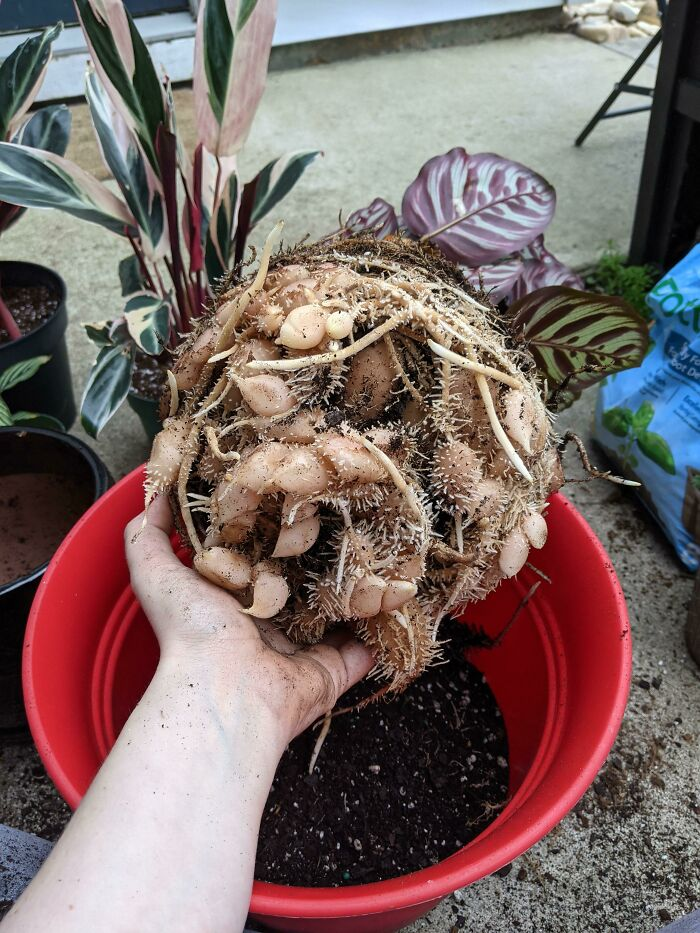 This Root System Of My Calathea Plant. These Root Nodules Mean It's Very Healthy, But It's Unnerving To Look At