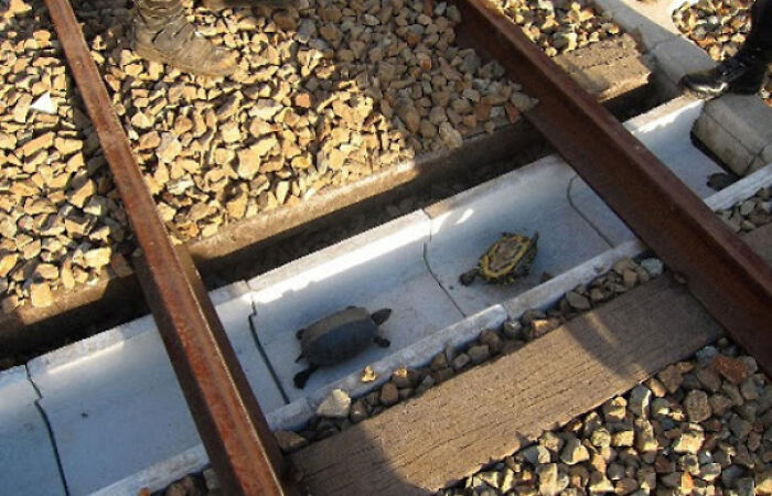 Train Tracks In Japan Have Special Pathways For Turtles Under Them To Avoid Turtle Casulaties And Train Delays