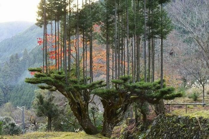 """There's An Ancient Japanese Pruning Method From The 14th Century That Allows Lumber Production Without Cutting Down Trees Called """"Daisugi"""""""