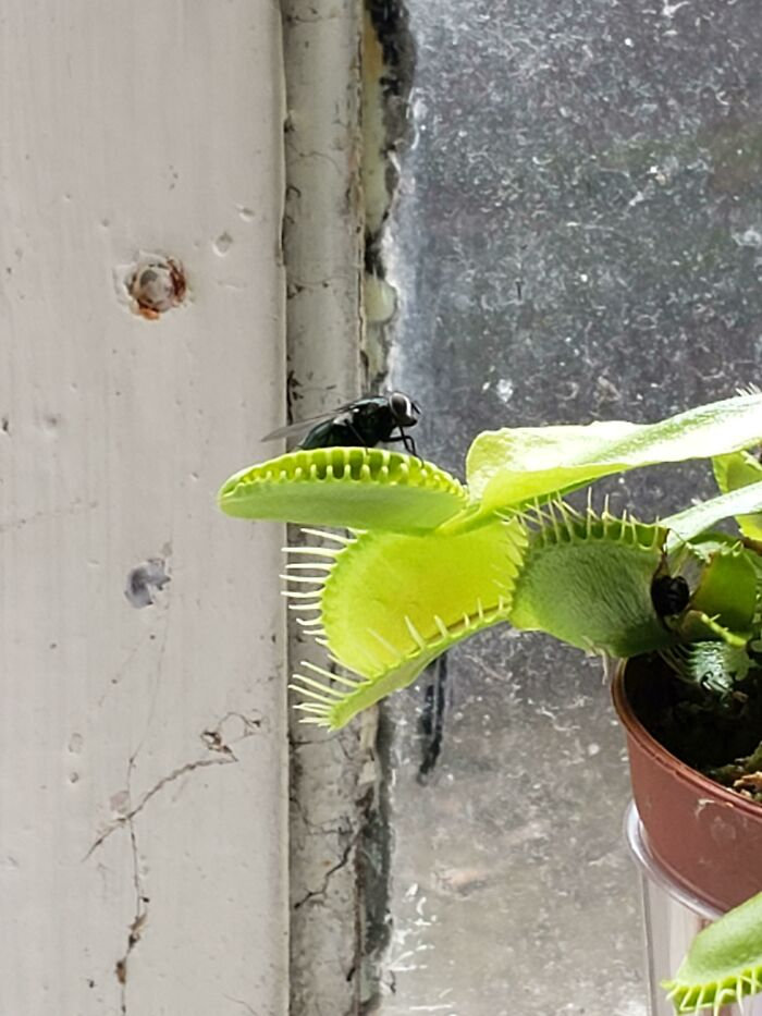 My Venus Fly Trap Is Getting Fired