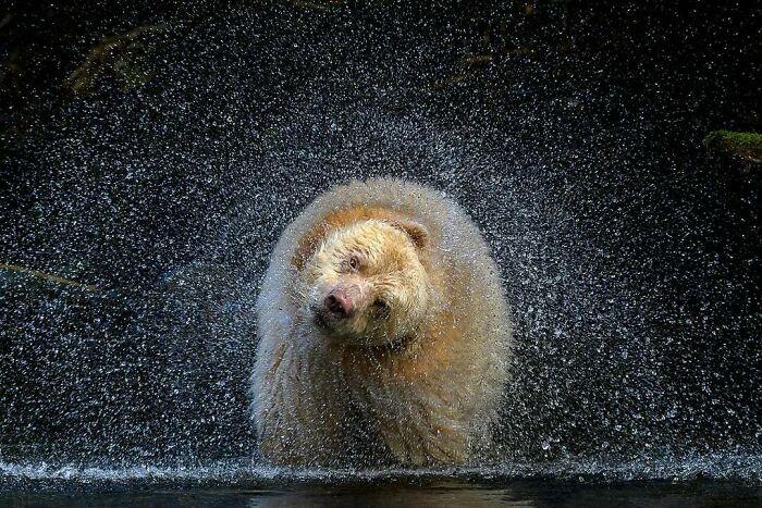 Terrestrial Wildlife, Winner: 'Boss' By Michelle Valberg, Great Bear Rainforest, Canada