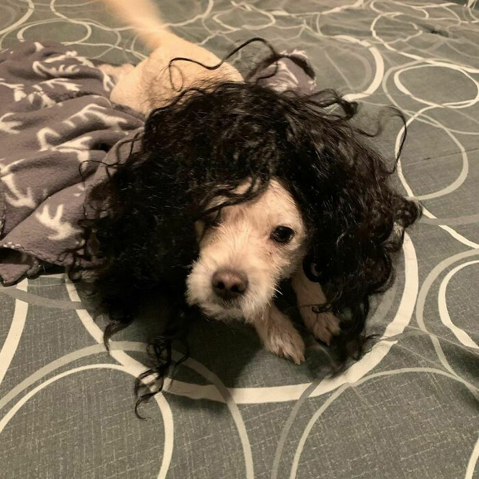 35 People Are Sharing Photos Of Their Dogs Wearing Wigs, And It's Absolutely Hilarious