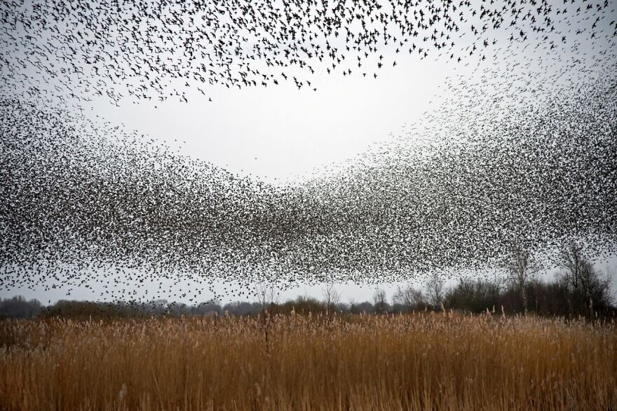Plenty Of Starlings (Commended In Nature And Landscape)