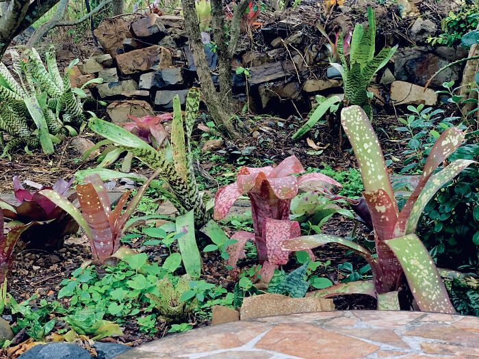 Bromeliads Are My Garden Jewellery