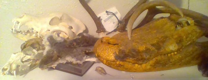 I Collect Animal Skulls/Pelts/Whatever Else